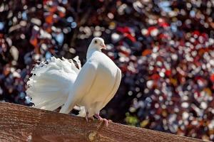 pigeon-1494064_960_720
