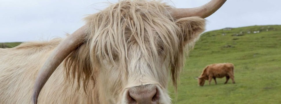 highland-cow-1631337_960_720