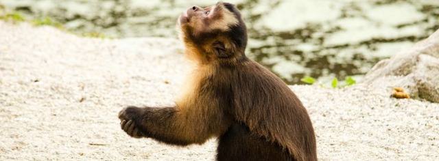 capuchin-1337190_960_720
