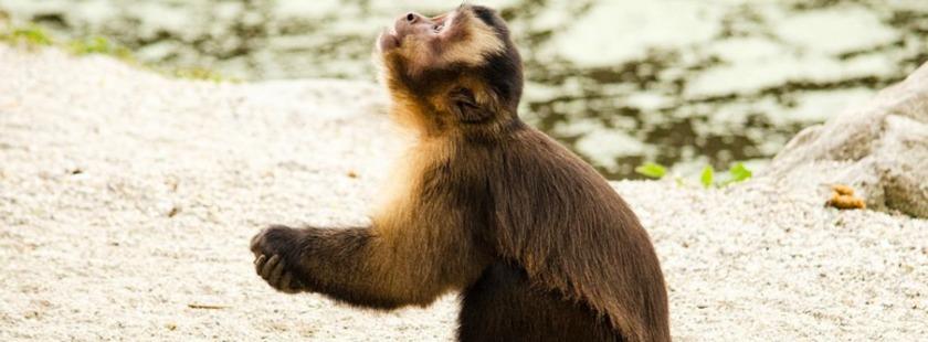 Dieses Bild hat ein leeres alt-Attribut; sein Dateiname ist capuchin-1337190_960_720.jpg.