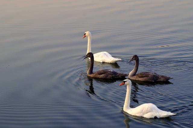 Zwei schwarze und zwei weiße Schwäne Pixabay